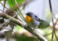 Flame-throated Warbler - Parula gutturalis