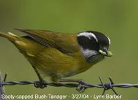 Sooty-capped Bush-Tanager (Chlorospingus pileatus)