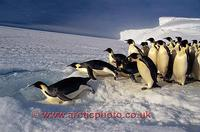 FT0113-00: Emperor Penguin leaps into a hole in the sea ice. Antarctica