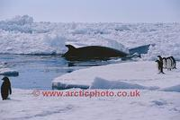 FT0141-00: Antarctic Minke Whale, Balaenoptera bonaerensis, amongst pack ice, watched by Adelie ...