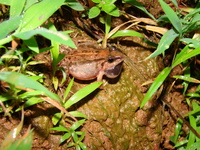 : Fejervarya limnocharis; Cricket Frog