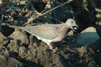 : Streptopelia senegalensis; Laughing Dove