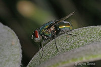 : Phaenicia sericata; Green Bottle Fly