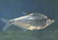 Parabramis pekinensis, White amur bream: fisheries, aquaculture