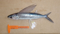 Hirundichthys affinis, Fourwing flyingfish: fisheries, bait