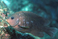 Stegastes rectifraenum, Cortez damselfish: fisheries