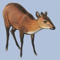 Image of: Cephalophus rufilatus (red-flanked duiker)