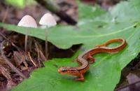 Image of: Eurycea wilderae (blue ridge two-lined salamander)