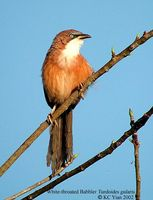 White-throated Babbler - Turdoides gularis