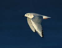 Bonaparte's Gull (Larus philadelphia) photo