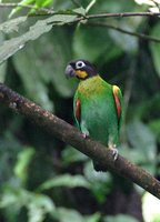 Orange-cheeked Parrot - Pionopsitta barrabandi