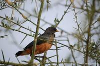 Chestnut-bellied Starling ?? Thierry Helsens
