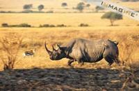 Black Rhinoceros (Diceros bicornis) photo