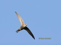 Pacific swift C20D 03118.jpg