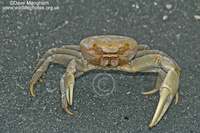 : Cardisoma guanhumi; Blue Land Crab