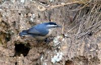 쇠동고비(Sitta villosa villosa Verreaux) 영어이름 : Snowy-browned Nuthatch, Chinese nuthatch