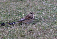 Richards Pipit Photograph by Mark Breaks