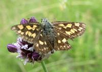 Carterocephalus palaemon - Chequered Skipper