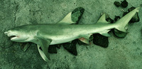 Negaprion acutidens, Sicklefin lemon shark: fisheries