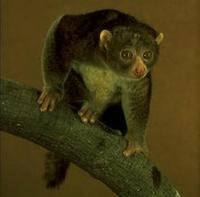 Image of: Perodicticus potto (potto)