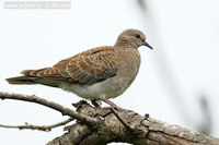 Streptopelia turtur - Turtle Dove