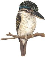 Image of: Melidora macrorrhina (hook-billed kingfisher)
