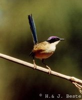 Purple-crowned Fairywren - Malurus coronatus