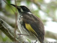 New Holland Honeyeater - Phylidonyris novaehollandiae