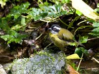 Sooty-capped Bush-Tanager - Chlorospingus pileatus
