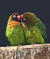 Pair of Black Cheeked Lovebirds kissing stock photo