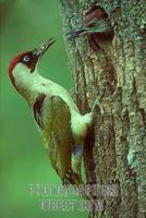 Green Woodpecker feeding young at nest hole stock photo