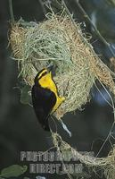 ...Black necked weaver building a nest , Ploceus nigricollis , Amboseli National Park , Kenya stock