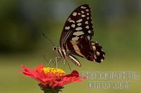 citrus swallowtail stock photo