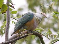 Flores Rose-crowned Fruit Dove