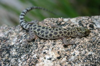 : Xantusia henshawi; Granite Night Lizard