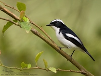 Little Pied Flycatcher (male) Scientific name - Ficedula westermanni