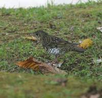 Scaly Thrush, Doi Ang Khang