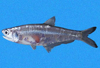 Anchoa walkeri, Walker's anchovy: fisheries