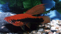 Xiphophorus hellerii, Green swordtail: aquarium