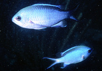 Chromis cyanea, Blue chromis: aquarium