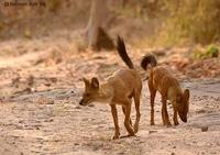 Image of: Cuon alpinus (dhole)