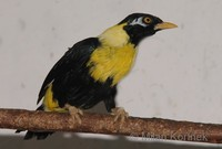 Mino anais - Golden-breasted Mynah