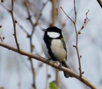 Image of: Parus major (great tit)