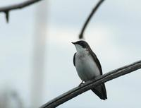 Image of: Tachycineta bicolor (tree swallow)