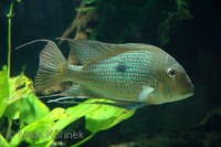 Geophagus surinamensis - Mother-of-pearl Eartheater