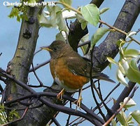 Brown-headed Thrush - Turdus chrysolaus