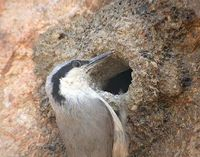 Eastern Rock Nuthatch - Sitta tephronota