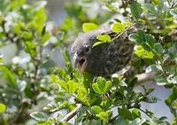 Common Cactus-Finch (Geospiza scandens) photo