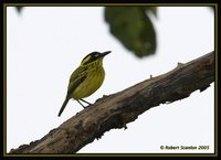 Yellow-browed Tody-Flycatcher - Todirostrum chrysocrotaphum