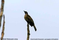 Streak-headed Honeyeater - Pycnopygius stictocephalus